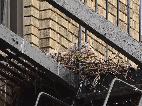 JHW Hawk Nest (9077)