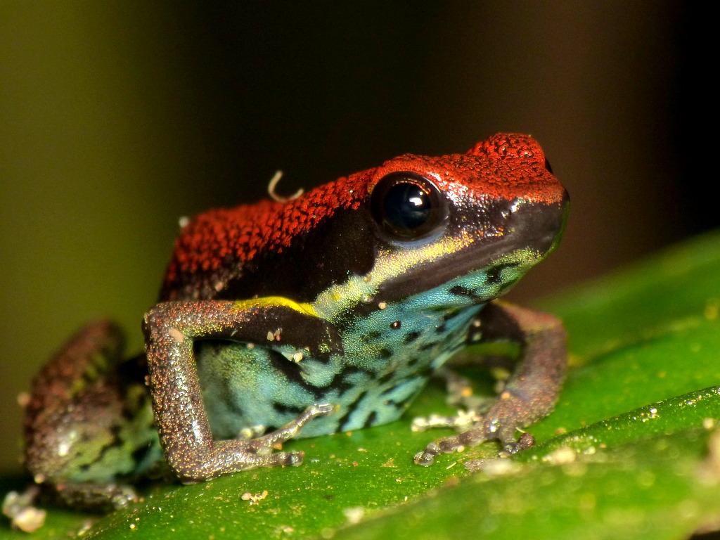 Wikiri Poison-Frog, Ameerega bilinguis