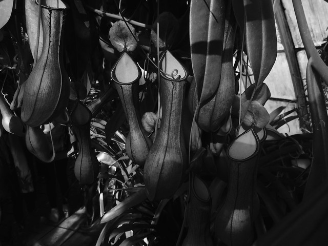 nepenthes bicalcarata,