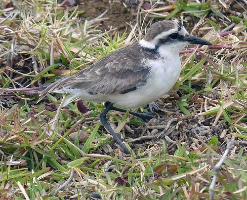 St Helena Wirebird