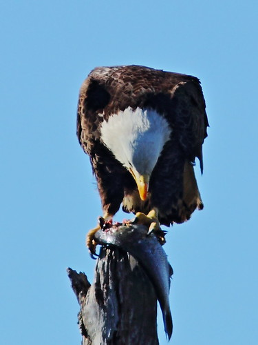 Bald Eagle female with fish 8-20150128