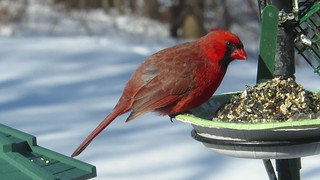 The Cardinal, Illinois State Bird SOOC HD Video with Whistling Tea Kettle taken on February 12, 2015 via a Canon SX700 HS MVI_8010