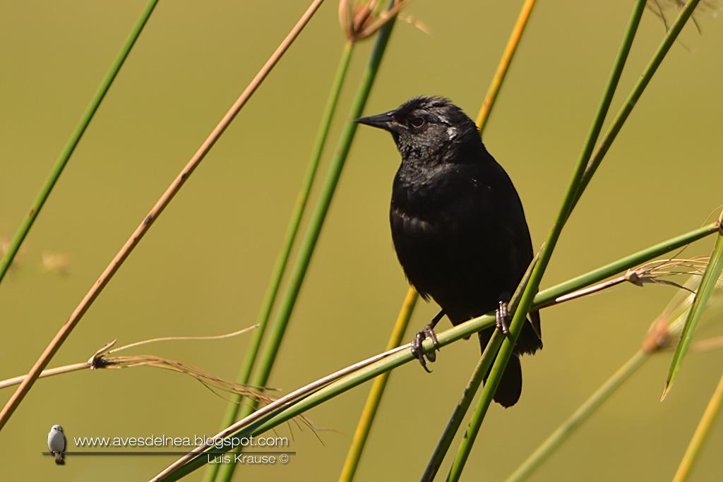 Varillero negro (Unicolored Blackbird) Agelasticus cyanopus