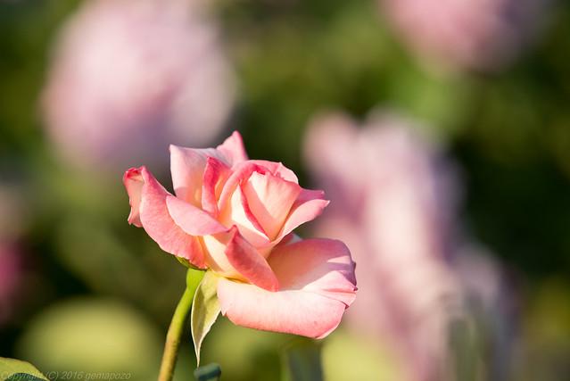 Blooming spring roses