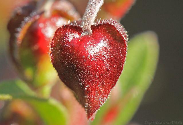 Cistus populifolius · Ciste à feuilles de peuplier · Pappelblättrige Zistrose