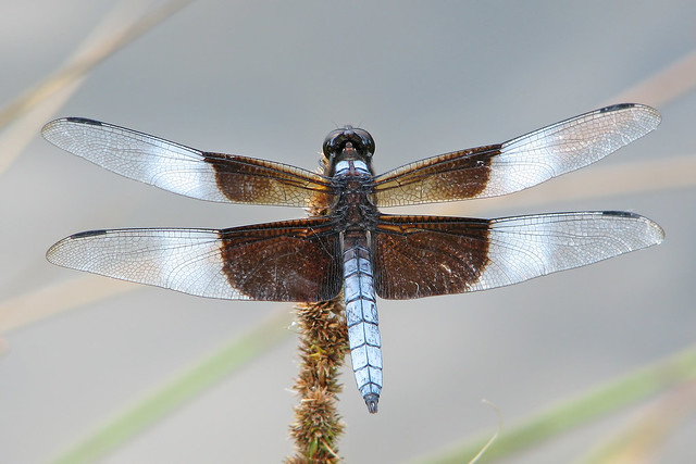 Widow skimmer perched at nearby dam
