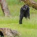 Gorillas at Longleat by Click U