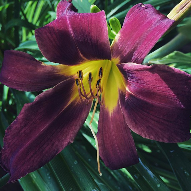 Day Lily #daylily #daylilies #flowers #garden #patiogarden