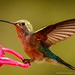 rufous hummingbird (female) by johncarney