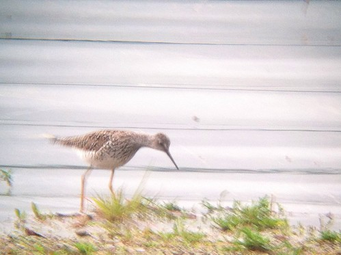 Lesser Yellowlegs - Leaser Lake, Lehigh county