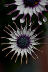 African Daisy - 2 - May 2013