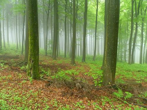 A misty forest near Kleinkastell Hillscheid