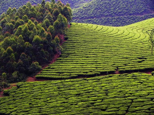 green kerala hills munnar teagardens explored