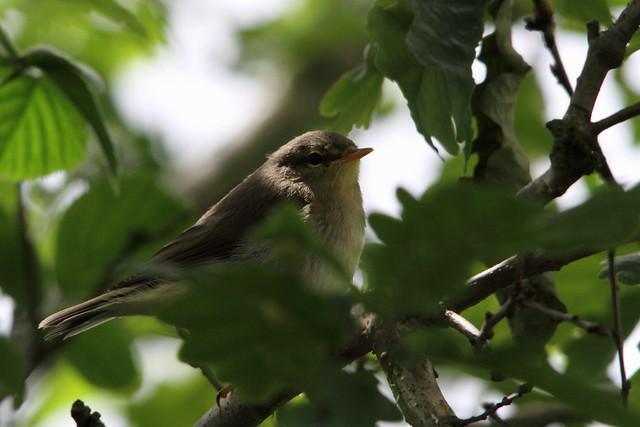 Willow Warbler chick, Baildon Moor