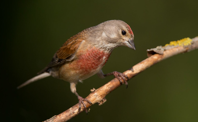 Linnet [male]