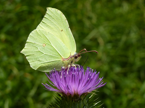 Brimstone butterfly by Linda Yarrow