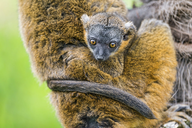 Mother lemur and baby II