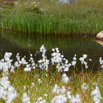 Cottongrass by pond in summer