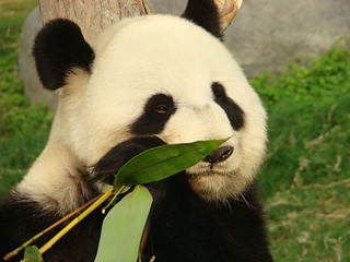 110 Reuze panda zit te eten