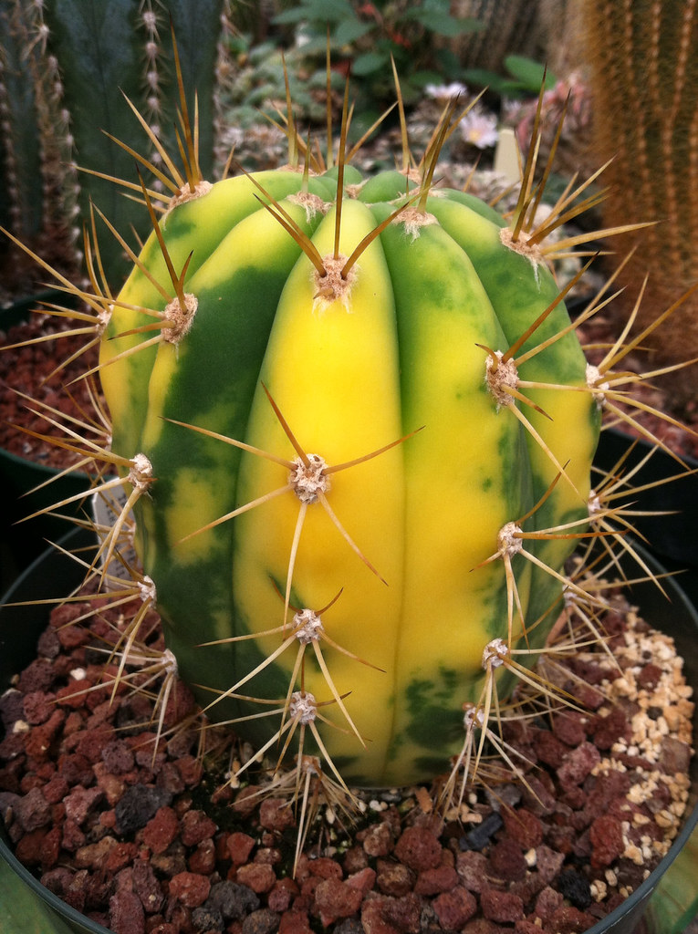 cactus guys Shop for and buy cactus online at macy's find cactus at macy's.