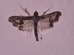 Bean Pod Borer moth - Maruca sp. Family Crambidae