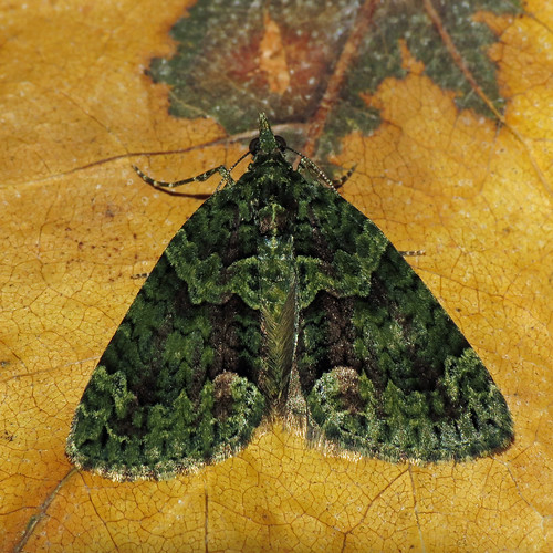 1760 Red-green Carpet - Chloroclysta siterata