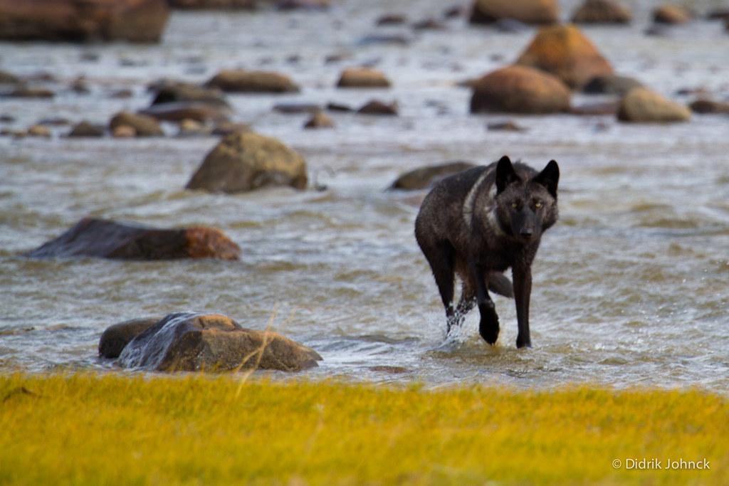 Wild Wolf in River