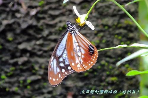 楊順成拍攝的青斑蝶。(圖片來源:林柏昌臉書)