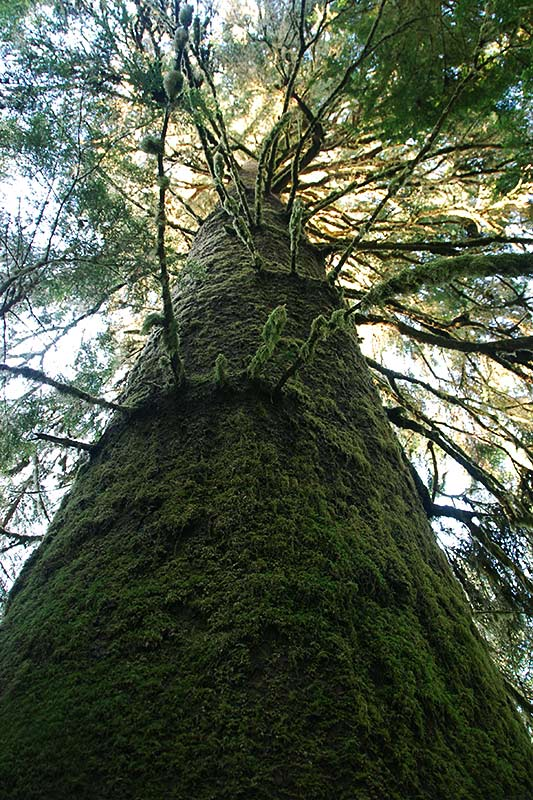 Heaven Tree in Carmanah Walbran Park, Carmanah Valley, Vancouver Island, British Columbia