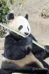 Panda with bamboo 恩賜上野動物園 Ueno Zoo Tokyo