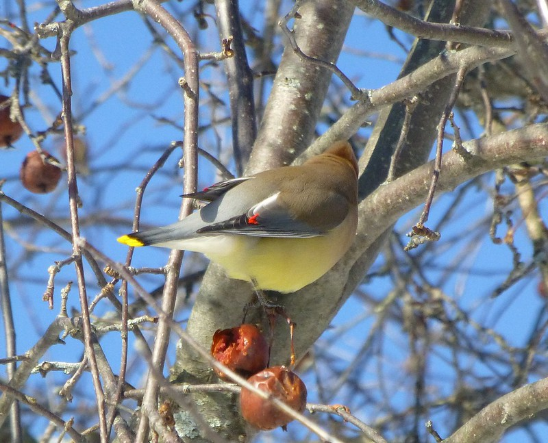 Cedar Waxwing showing wing tip