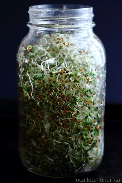 alfalfa sprouts day 4
