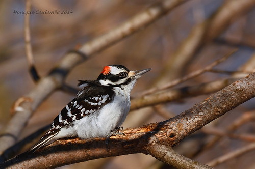 Pic chevelu mâle - Hairy Woodpecker male
