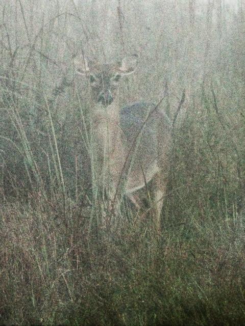 White-tailed Doe in fog 3-20140224
