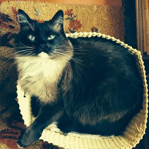 Nap interrupted. #charlenebutterbean #cat #catsofinstagram