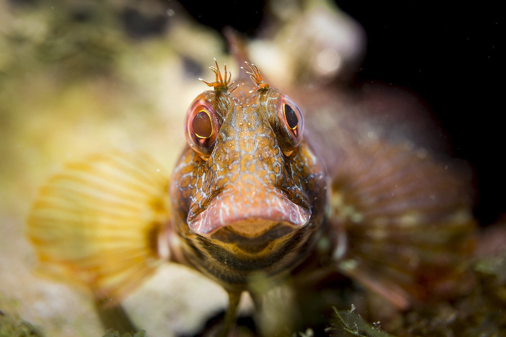 parablennius pilicornis en Fotografia Submarina12918512964_4e760479d9_b