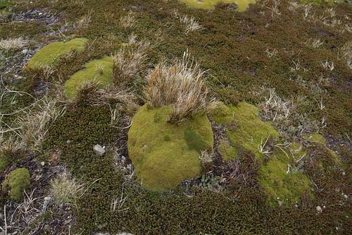 038 Plantenbij Martial gletsjer