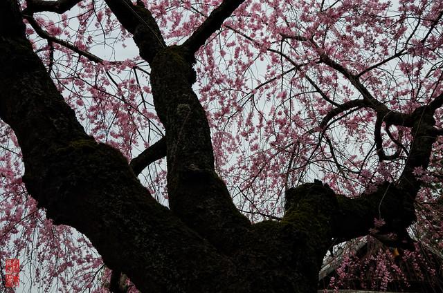 「桜満開」 水火天満宮 - 京都