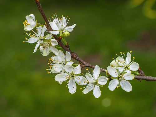 Kirschblütenfestival (Cherry blossom festival)