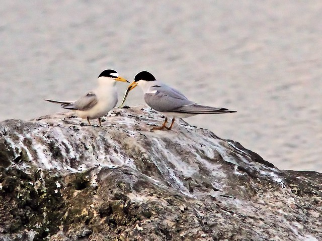 Least Tern female refuses fish from intruder male 28- 20140428