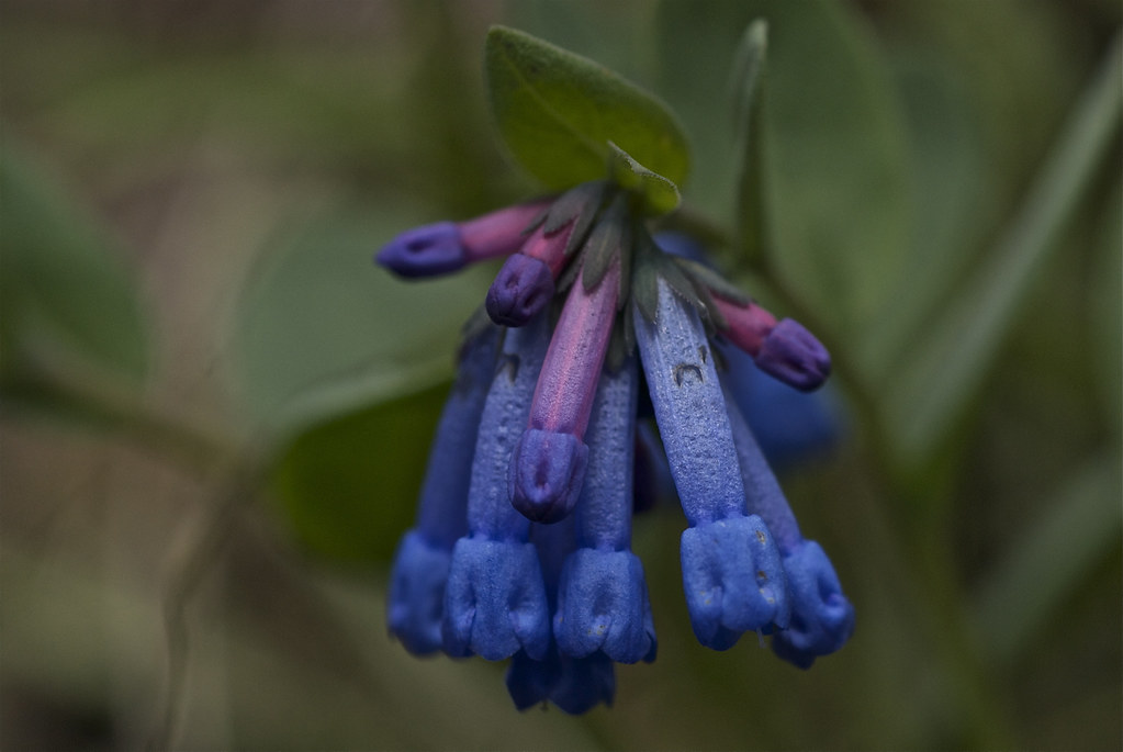 Small Bluebells