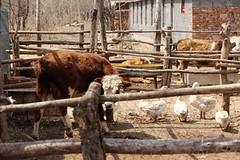 受污染的農田的數百米外即有農家畜牧,以及一家大型養雞場