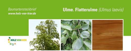 Ulme-Flatterulme-Header