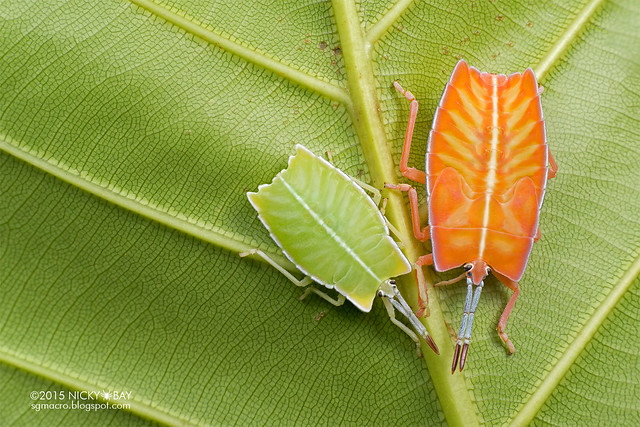 Giant shield bug nymphs (Pycanum sp.) - DSC_1159