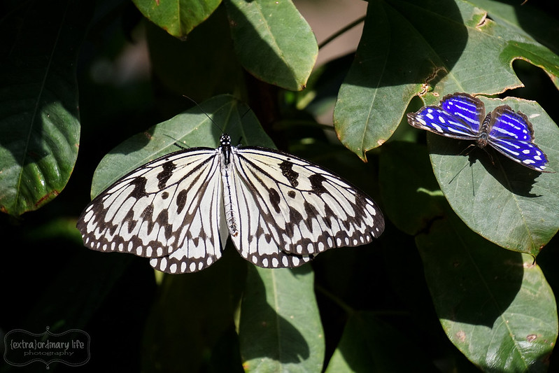 butterflies-4-wm