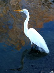 Denman Park Egret With Reflection On Water