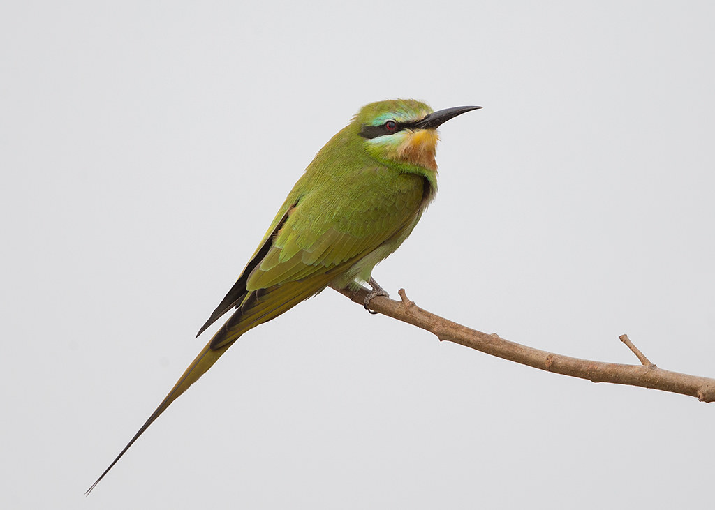 Little Green Bee-eater  Gambia