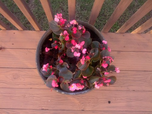 Begonias on the back deck, December 22