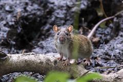 Un petit curieux... rat des champs?