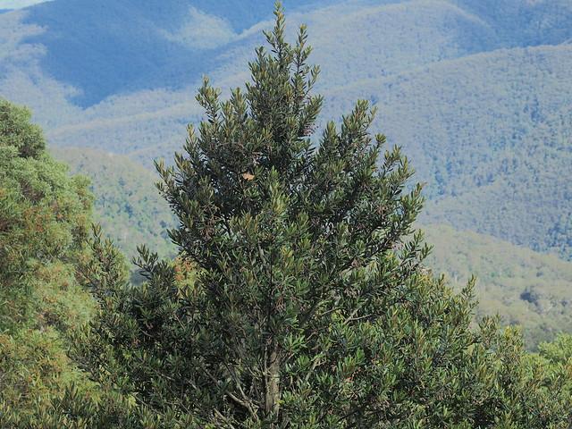 Elaeocarpus holopetalus Barrington Tops NP
